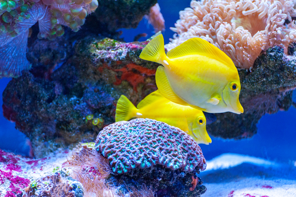 Yellow,Tang,Tropical,Fish,(,Zebrasoma,Flavescens,),.